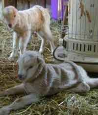 Goatbaby Sweater